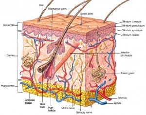 dermis anatomy of the skin