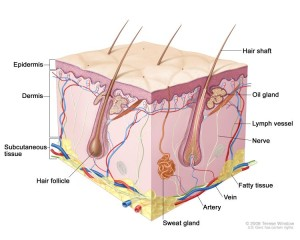 sweat glands and lymph nodes