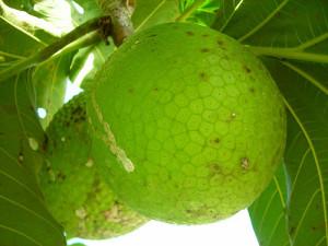 hyperpigmentation breadfruit artocarpus communis
