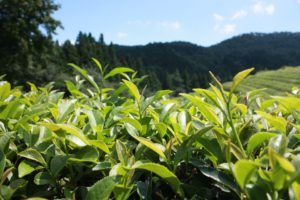 green tea extract for acne relief, green tea plantation